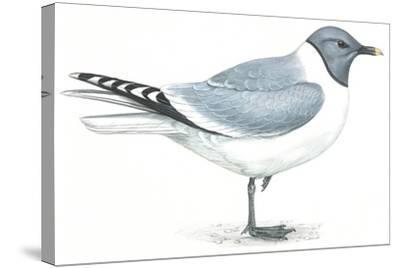Birds: Charadriiformes, Sabine's Gull (Xema Sabini)--Stretched Canvas Print