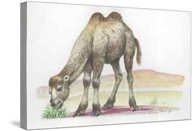 Young Bactrian Camel Camelus Bactrianus--Stretched Canvas Print