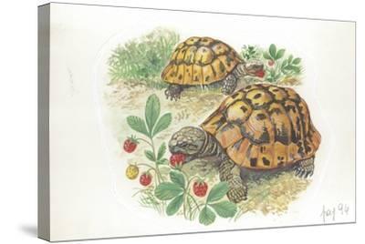 HermannS Tortoises Testudo Hermanni Eating--Stretched Canvas Print