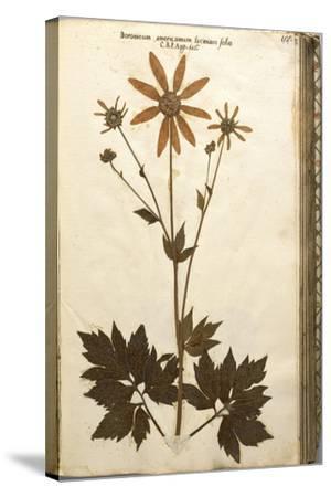 Doronicum Americanum Lacinato Leaves--Stretched Canvas Print
