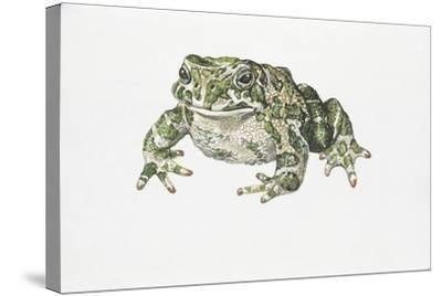 European Green Toad (Bufo Viridis)--Stretched Canvas Print