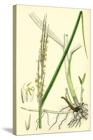 Spartina Alterniflora Many-Spiked Cord-Grass--Stretched Canvas Print