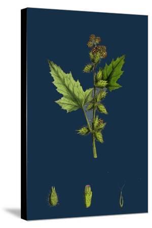 Chenopodium Vulvaria; Stinking Goosefoot--Stretched Canvas Print