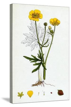 Ranunculus Eu-Acris Upright Meadow Crowfoot--Stretched Canvas Print
