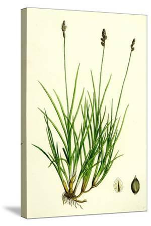 Carex Curta Var. Alpicola White Sedge Var. B--Stretched Canvas Print