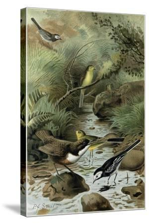 Dipper Pied Wagtail and Yellow Wagtail--Stretched Canvas Print