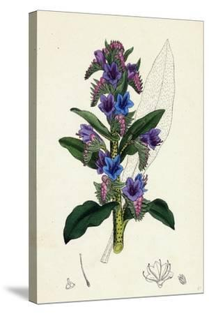 Echium Vulgare Common Viper's-Bugloss--Stretched Canvas Print