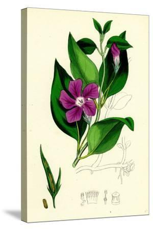 Vinca Major Greater Periwinkle--Stretched Canvas Print