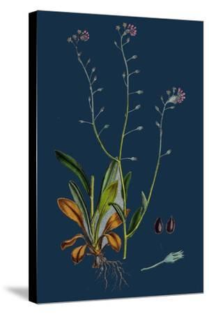 Rumex Acetosella; Sheep's Sorrel--Stretched Canvas Print