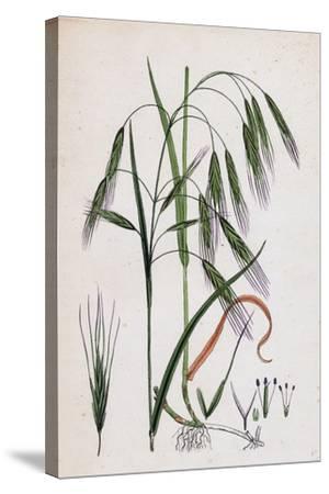 Bromus Sterilis Barren Brome-Grass--Stretched Canvas Print