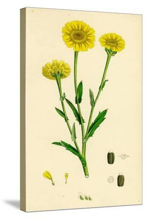 Chrysanthemum Segetum Corn Marigold--Stretched Canvas Print