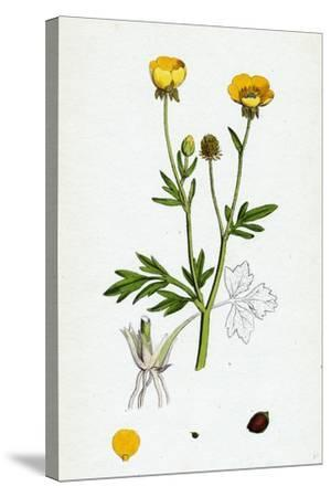 Ranunculus Hirsutus Hairy Crowfoot--Stretched Canvas Print