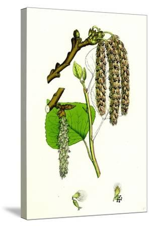 Populus Nigra Black Poplar--Stretched Canvas Print