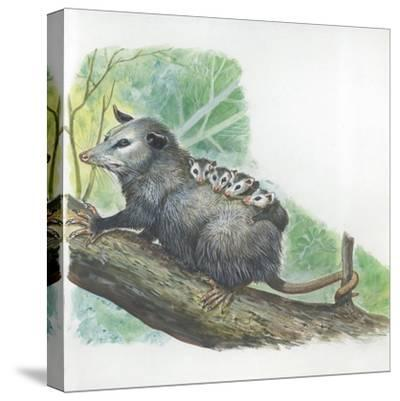 Virginia Opossum Didelphis Virginiana Carrying Cubs on Back--Stretched Canvas Print