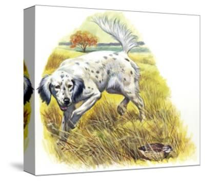 English Setter (Canis Lupus Familiaris) Pointing to Quail--Stretched Canvas Print