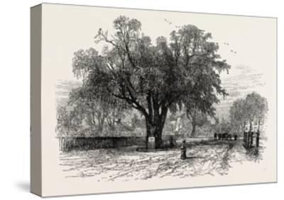 Washington Elm, Cambridge, Massachusetts, USA, 1870s--Stretched Canvas Print