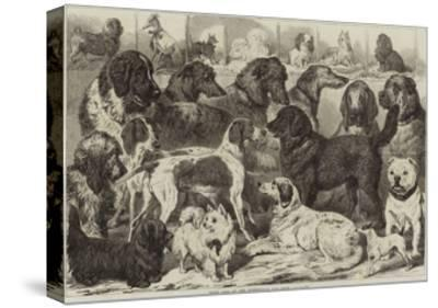 Prize Dogs at the Birmingham Dog Show--Stretched Canvas Print