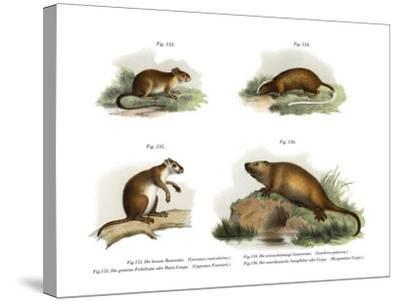 Atlantic Tree Rat, 1860--Stretched Canvas Print