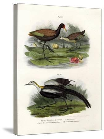 Wattled Jacana, 1864--Stretched Canvas Print