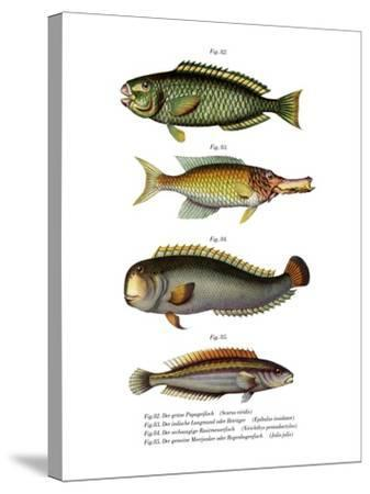 Palecheek Parrotfish--Stretched Canvas Print