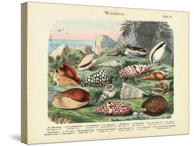 Molluscs, C.1860--Stretched Canvas Print