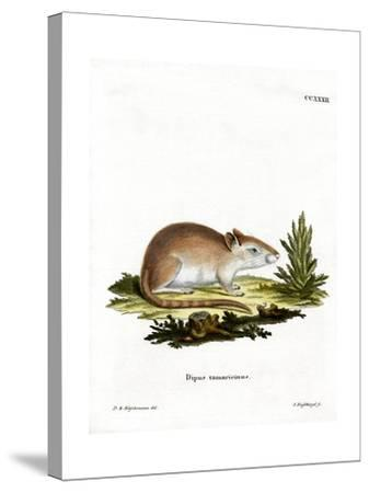 Tamarisk Jird--Stretched Canvas Print
