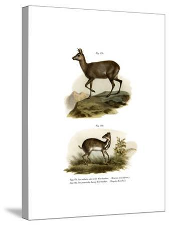 Musk Deer, 1860--Stretched Canvas Print