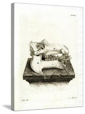 Hippo Skull--Stretched Canvas Print