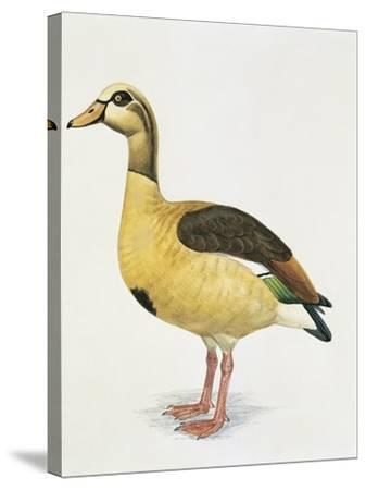 Side Profile of an Egyptian Goose (Alopochen Aegyptiacus)--Stretched Canvas Print