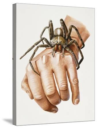Spider on Hand, Ctenidae, Artwork by Mike Taylor--Stretched Canvas Print