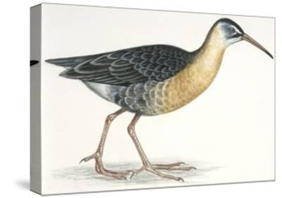 Birds: Gruiformes, Water Rail (Rallus Aquaticus)--Stretched Canvas Print