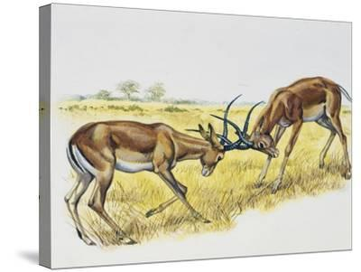 Two Male Impalas Fighting (Aepyceros Melampus), Bovidae, Drawing--Stretched Canvas Print