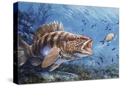 Painted Comber (Serranus Scriba), Serranidae--Stretched Canvas Print