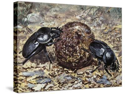 Sacred Beetle (Scarabaeus Sacer), Scarabaeidae--Stretched Canvas Print