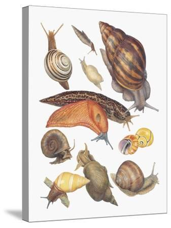 Close-Up of a Group of Gastropoda Molluscs--Stretched Canvas Print
