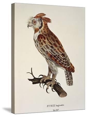 Owl Strix Longirostris,--Stretched Canvas Print