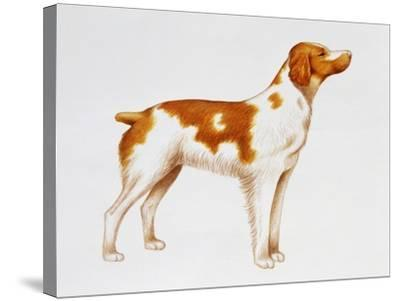 Brittany (Canis Lupus), Canidae, Drawing--Stretched Canvas Print