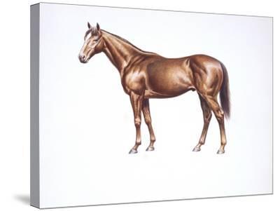 English Thoroughbred (Equus Caballus)--Stretched Canvas Print