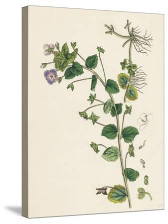 Veronica Buxbaumii Buxbaum's Speedwell--Stretched Canvas Print