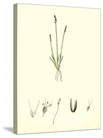 Chamagrostis Minima Early Sand-Grass--Stretched Canvas Print