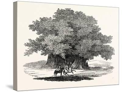 Great Chesnut Tree of Mount Aetna--Stretched Canvas Print