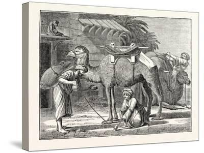 The Arabian Camel--Stretched Canvas Print