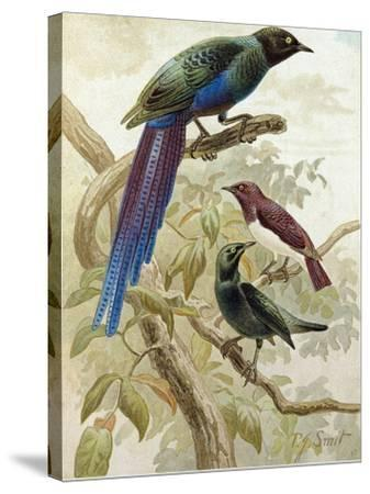 Glossy Starlings--Stretched Canvas Print