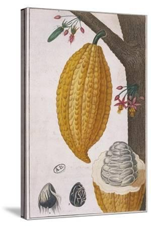 Plant and Fruit of Cacao Tree Theobroma Cacao, Colour Print--Stretched Canvas Print