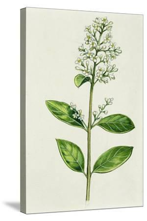 Inflorescence Corncob--Stretched Canvas Print