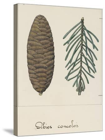 Branch and Pine Cone of White Fir (Abies Concolour), Pineceae--Stretched Canvas Print