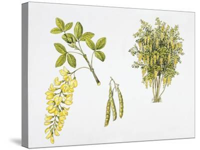 Laburnum Anagyroides Plant with Flower, Leaf and Fruit--Stretched Canvas Print
