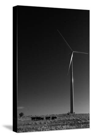 A Herd of Cattle Walk in a Pasture Below a Modern Wind Turbine-Michael Forsberg-Stretched Canvas Print