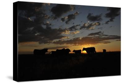 Cattle in a Pasture are Silhouetted by the Sunrise-Michael Forsberg-Stretched Canvas Print