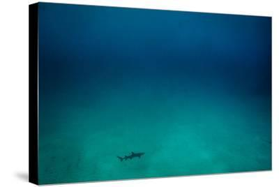 Cocos Island, Costa Rica: A White Tip Reef Shark Cruises the Sandy Bottom-Ben Horton-Stretched Canvas Print